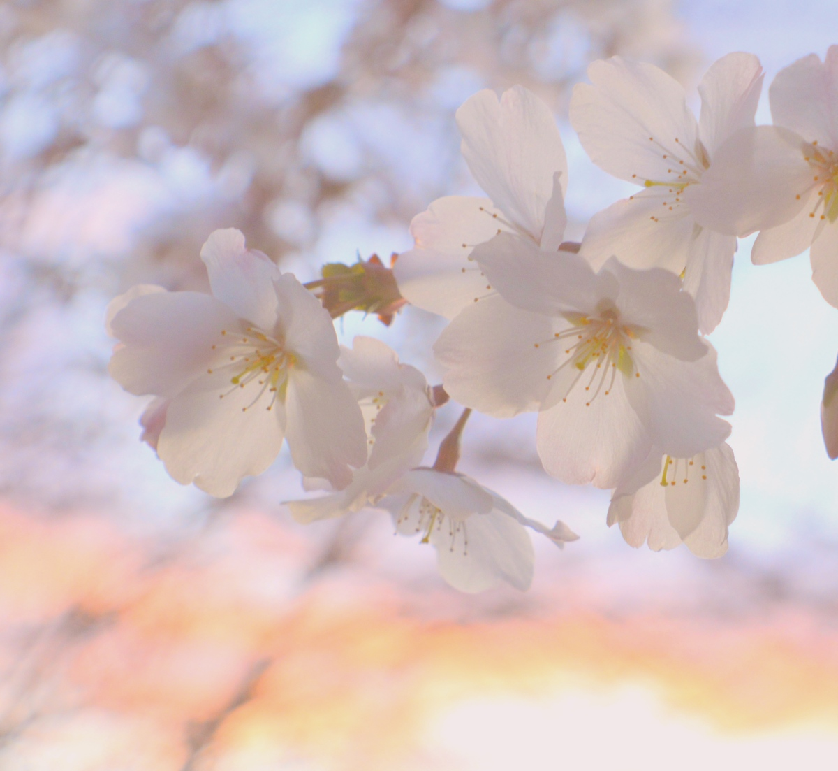 Chasing the cherry blossom: Getting the most out of sakura season in Japan!